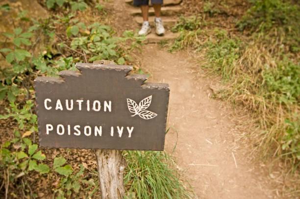 giftsumach (toxicodendron radicans) - poison ivy pflanzen stock-fotos und bilder