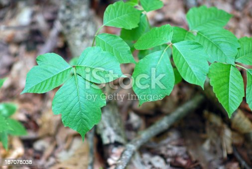 Poison ivy growing in its natural state in a forest.