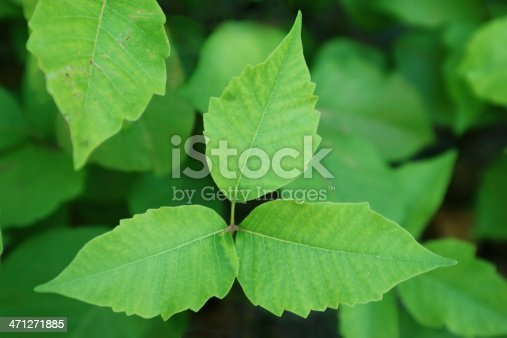 Poison Ivy (Toxicodendron radicans) is a plant common throughout North America. It contains a toxic clear liquid compound in its sap called urushiol that causes itching and skin rashes, it is to be avoided at all costs.