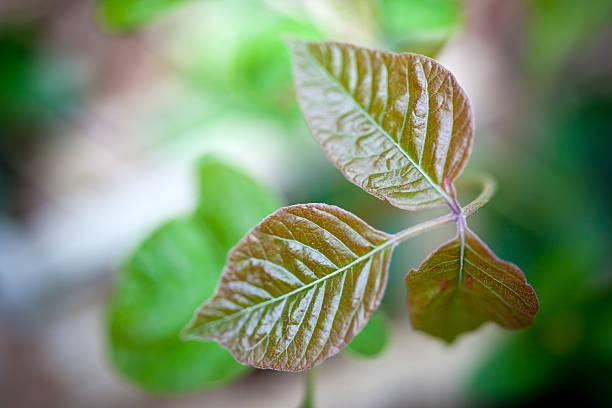 giftsumach - poison ivy pflanzen stock-fotos und bilder