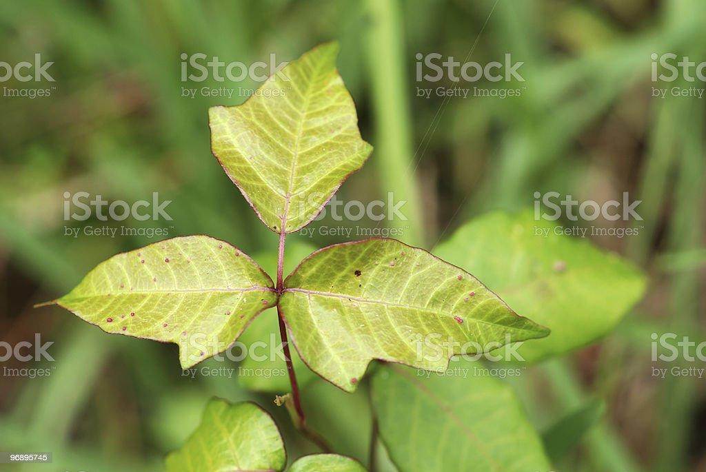 Poison Ivy royalty-free stock photo