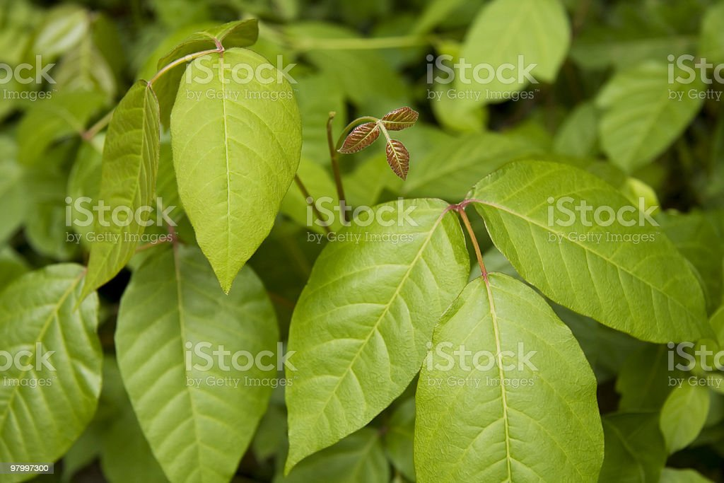 Poison Ivy royalty-free stock photo
