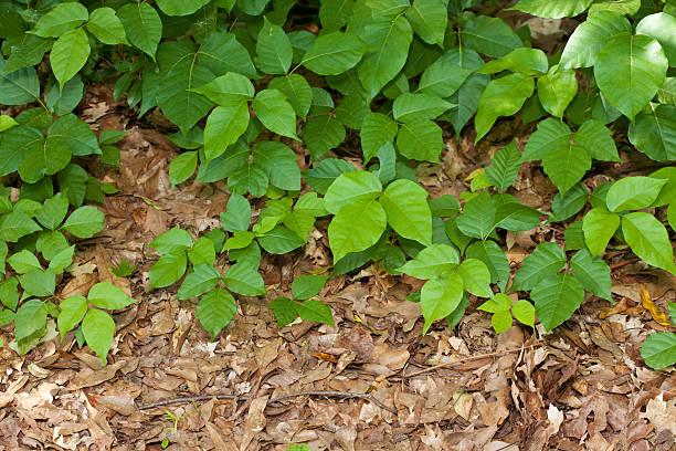 giftsumach pflanzen - poison ivy pflanzen stock-fotos und bilder