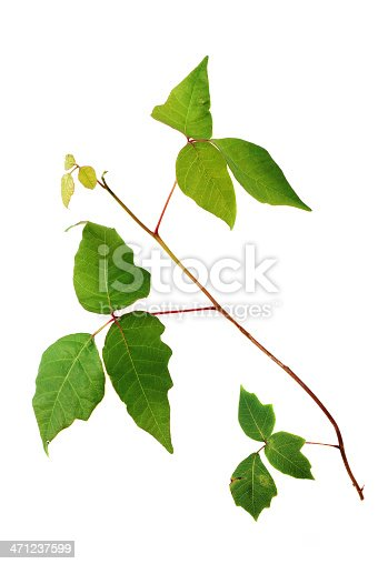 Poison Ivy vine with three-leaf clusters on white. Distinctive three leaf clusters associated with poison ivy plants. Studio shot on white.