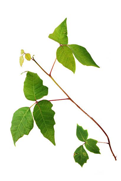 giftsumach vine mit einzigartigen drei-leaf-cluster auf weiß - poison ivy pflanzen stock-fotos und bilder