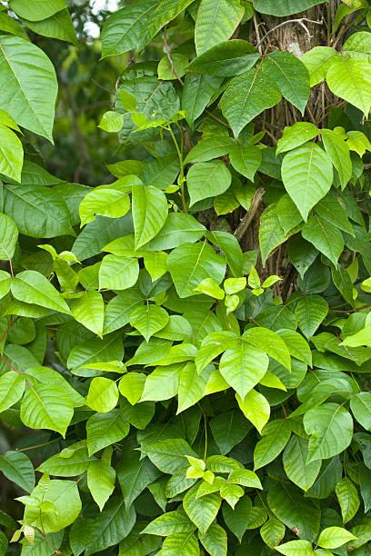 giftsumach vines-hintergrund - poison ivy pflanzen stock-fotos und bilder