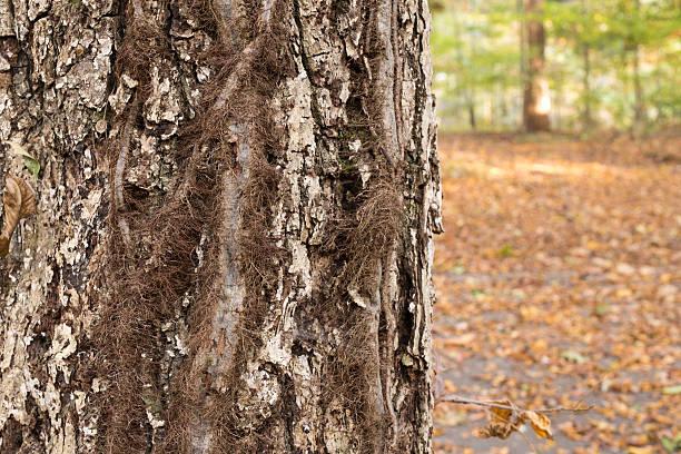 giftsumach vines - poison ivy pflanzen stock-fotos und bilder
