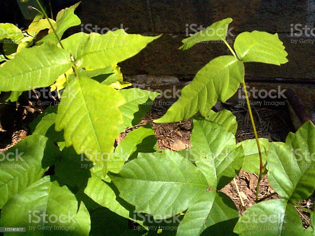 Poison Ivy-4 royalty-free stock photo