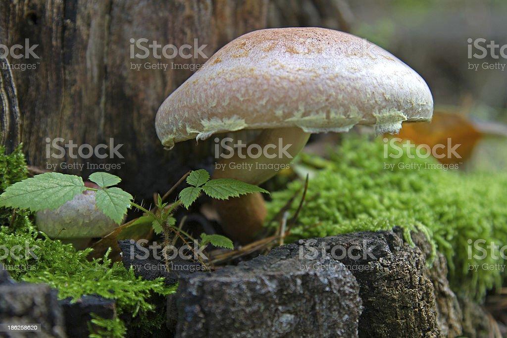 poison mushroom stock photo
