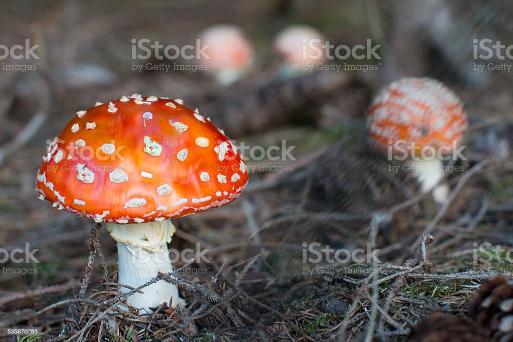 poison mushroom stock photo
