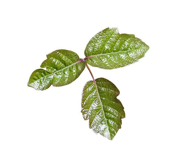 gifteiche blätter isoliert - poison ivy pflanzen stock-fotos und bilder