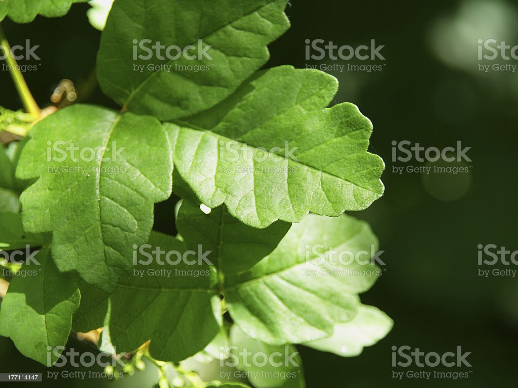 Poison Oak royalty-free stock photo