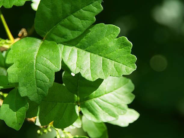 gifteiche - poison ivy pflanzen stock-fotos und bilder