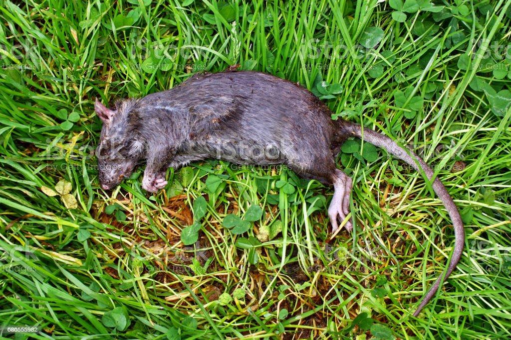 Poisoned rodent lying dead stock photo