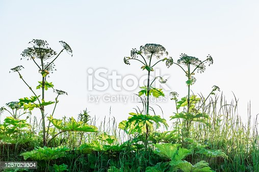 poisonous dangerous blooming giant weed tall hogweed