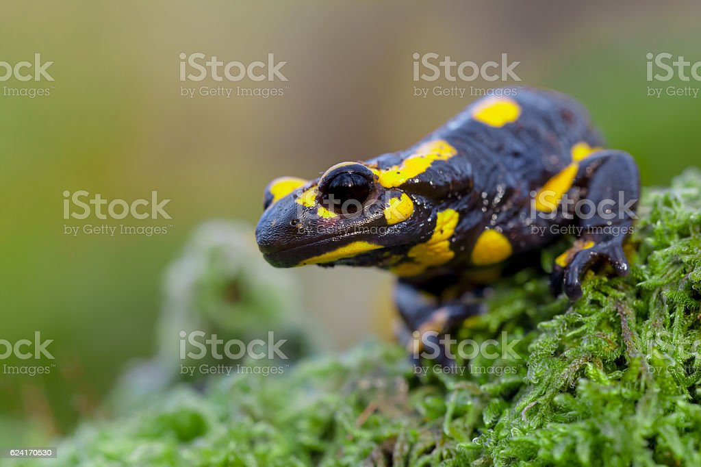 Poisonous Fire salamander in its natural habitat stock photo