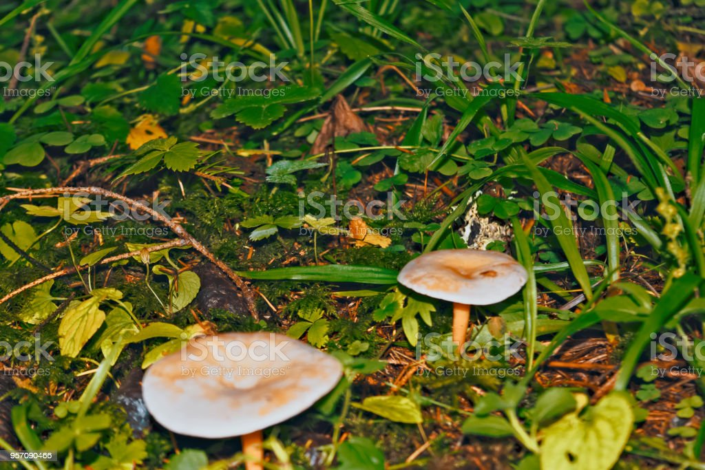 Poisonous forest mushrooms close-up. stock photo