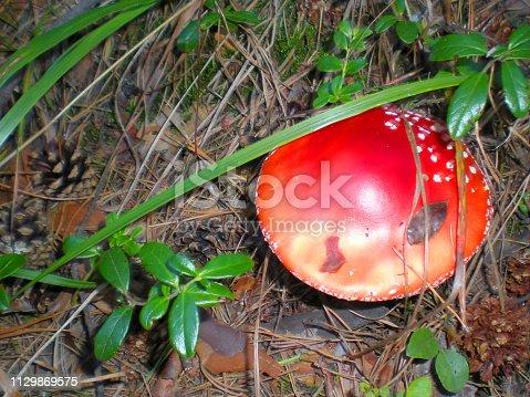 Poisonous fungi insecticides. Toadstool Amanita muscaria. Amanita red, lamellar top view