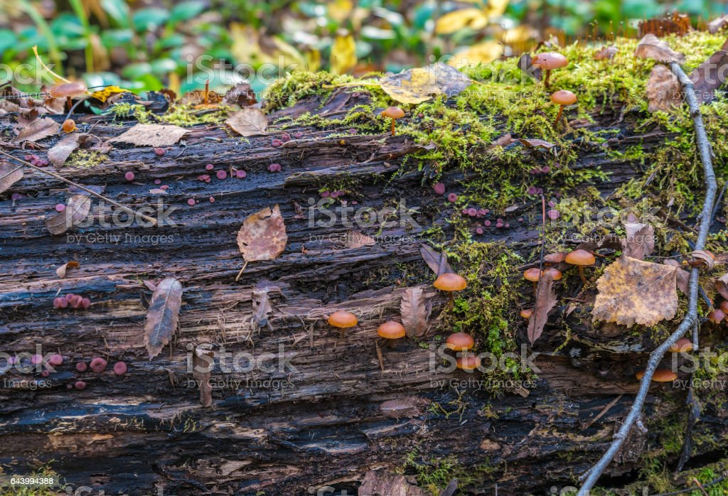Poisonous fungus (Galerina marginata) on a decaying log covered with moss in the forest stock photo