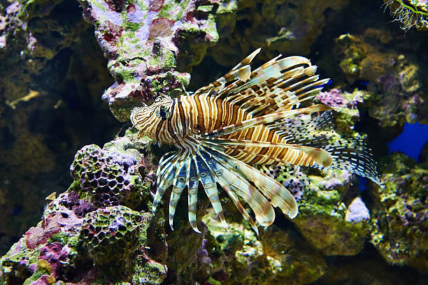 poisonous lionfish on coral in blue water sea - lionfish stock photos and pictures