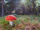 Poisonous mushroom amanita muscaria, red mushroom with white spots. Background of forest trees in autumn out of focus with sunshine.