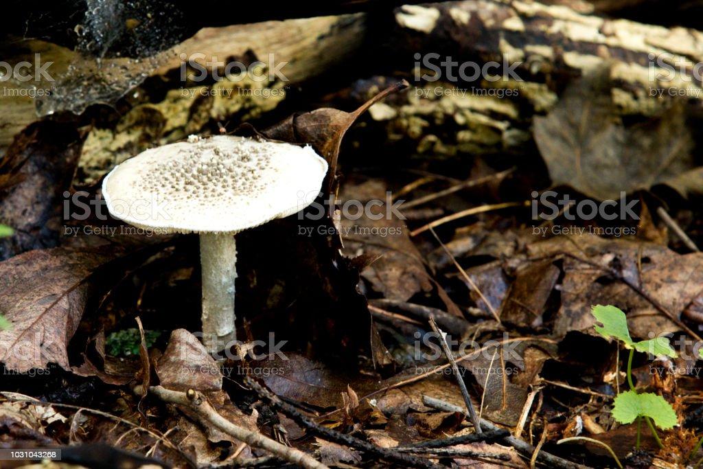 林床に毒キノコ タマゴテングタケ まぶしいのストックフォトや画像を