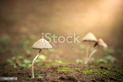 istock Poisonous mushroom and morning sunlight in tropical forest. 1164709115
