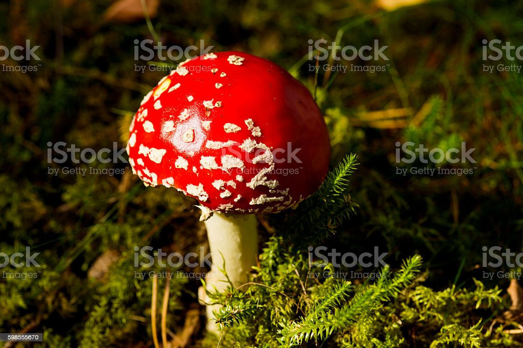 Poisonous mushroom fly agaric stock photo