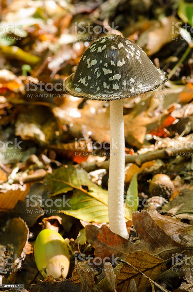 poisonous mushroom in the autumn forest stock photo