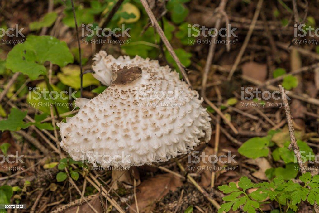 Poisonous parasol mushroom in autumn forest stock photo