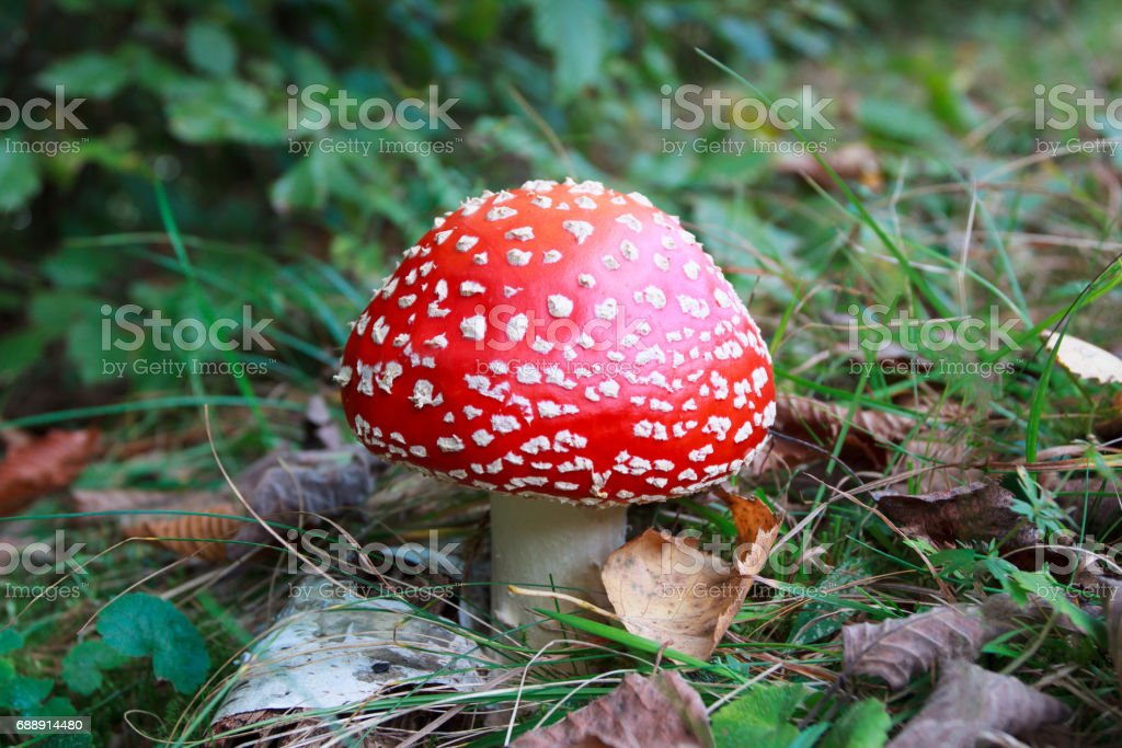 Poisonous red and white Amanita muscaria mushroom in a park stock photo