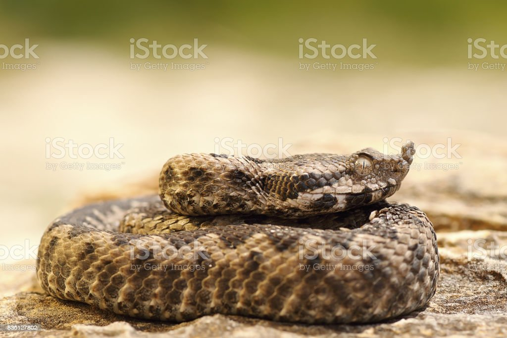 poisonous snake youngster basking on stone stock photo