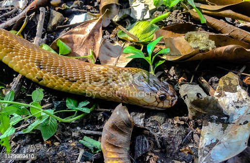Poisonous snakes live on the grass in the overgrown forest.