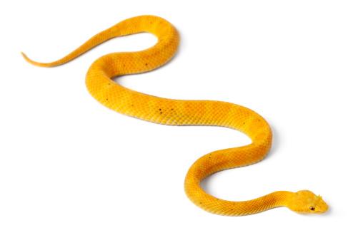 Yellow Eyelash Viper - Bothriechis schlegelii, poisonous, white background