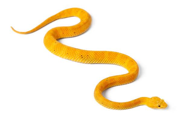 A poisonous yellow eyelash viper on a white background stock photo