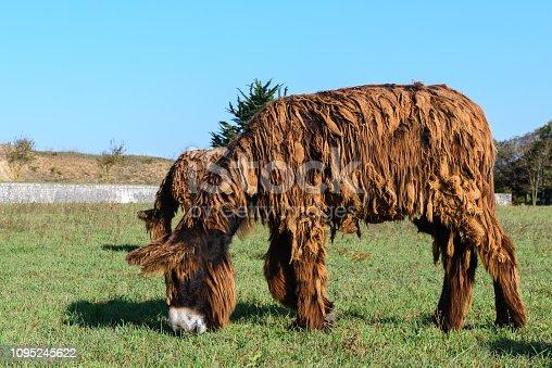 istock Poitou donkey at Re Island, France 1095245622