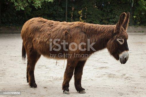 istock Poitou donkey (Equus asinus asinus) 1043299856