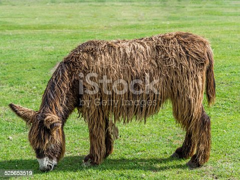 istock Poitou Donkey (Poitevin Donkey) 525653519