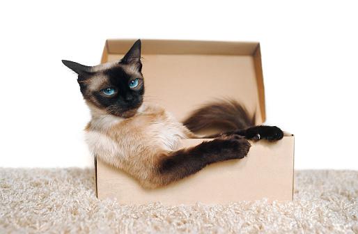 istock Poker Face. Sassy muzzle of cat boss. Siamese cat in a cardboard box. Cat's habits. 1127643599