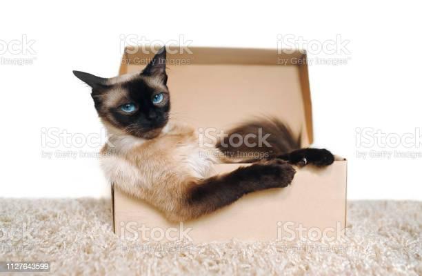 Poker face sassy muzzle of cat boss siamese cat in a cardboard box picture id1127643599?b=1&k=6&m=1127643599&s=612x612&h=a0oxg1e6rvtntq0eeyeb56tdpaijqudwfglc2jkmk0a=
