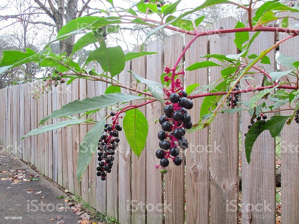 Pokeweed Berries, Growing near a Wooden Fence stock photo