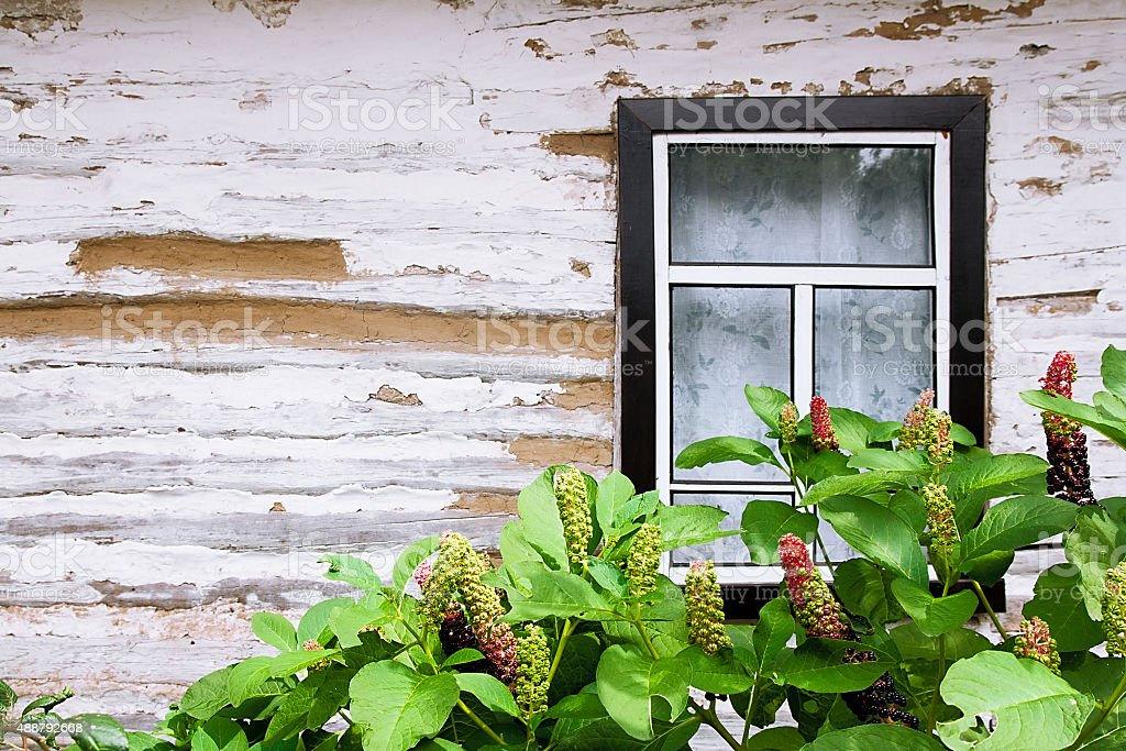 Pokeweed or pokeberry foliage and fruit and wooden wall stock photo