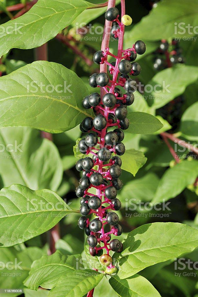 Pokeweed with purple ripe berries. Phytolacca stock photo