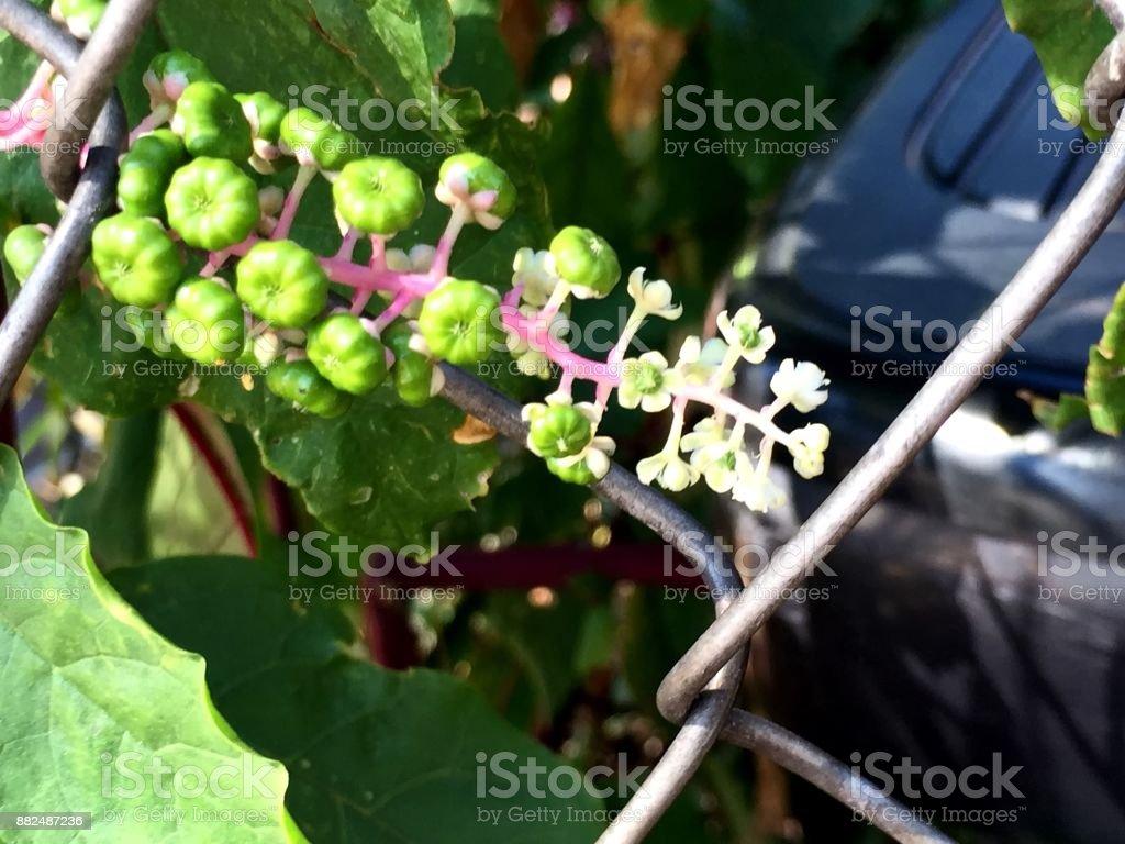 pokweed blooms stock photo