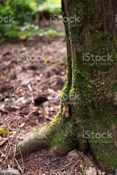 Poland biaowiea forest moss on a tree picture id842959944?b=1&k=6&m=842959944&s=612x612&h=j7t1chiwamaaxvfpz9xkb0bhmzsb9czk0jnkkxc7ucu=