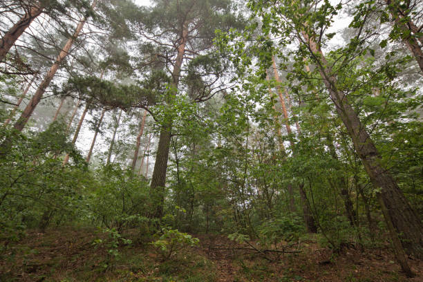 poland, masuria. woodland from below. - low angle view foto e immagini stock