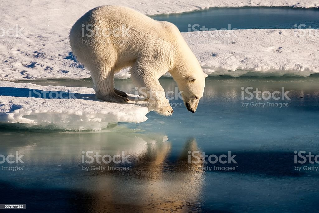 Polar bear admiring his mirror image in the sea stock photo
