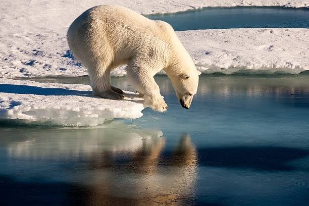 polar bear admiring his mirror image in the sea - clima polar imagens e fotografias de stock