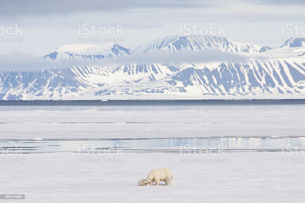 Polar Bear and Cubs on Arctic Sea Ice stock photo