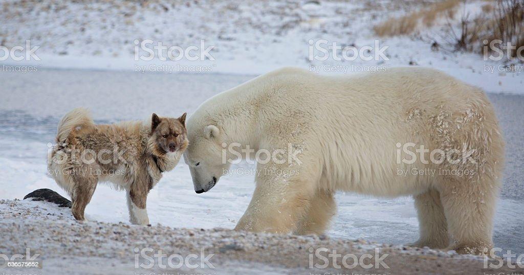 Polar Bear and Dog stock photo
